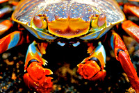 Sally Crab from Galapagos Islands