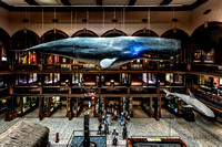 Sperm Whale at Bishop Museum in Honolulu Hawaii Nikon D810 and 14-24mm lens _85B2238