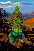 The Perfect Silversword at Haleakala Maui